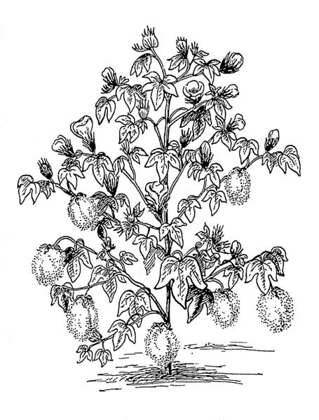 455px-Cotton_plant_(PSF)