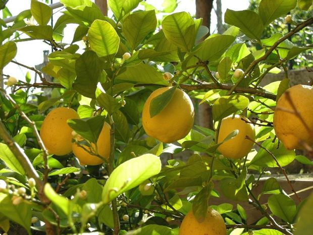 800px-Lemon_tree_(2452034454)