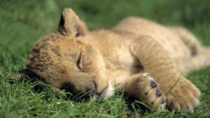 Lion cub. Picture courtesy National Geographic.