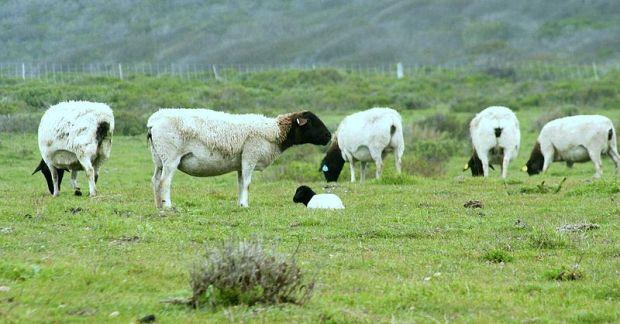 800px-Point_Buchon_Trail_sheep